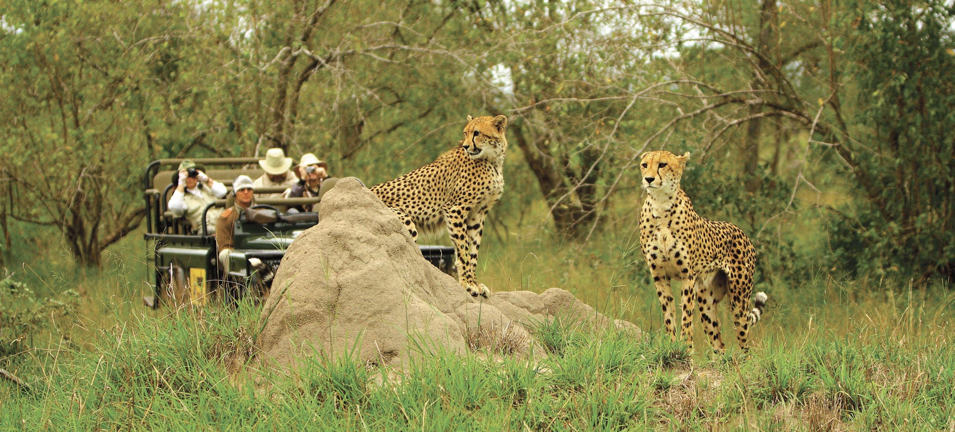 Kruger Game Drive Cheetah
