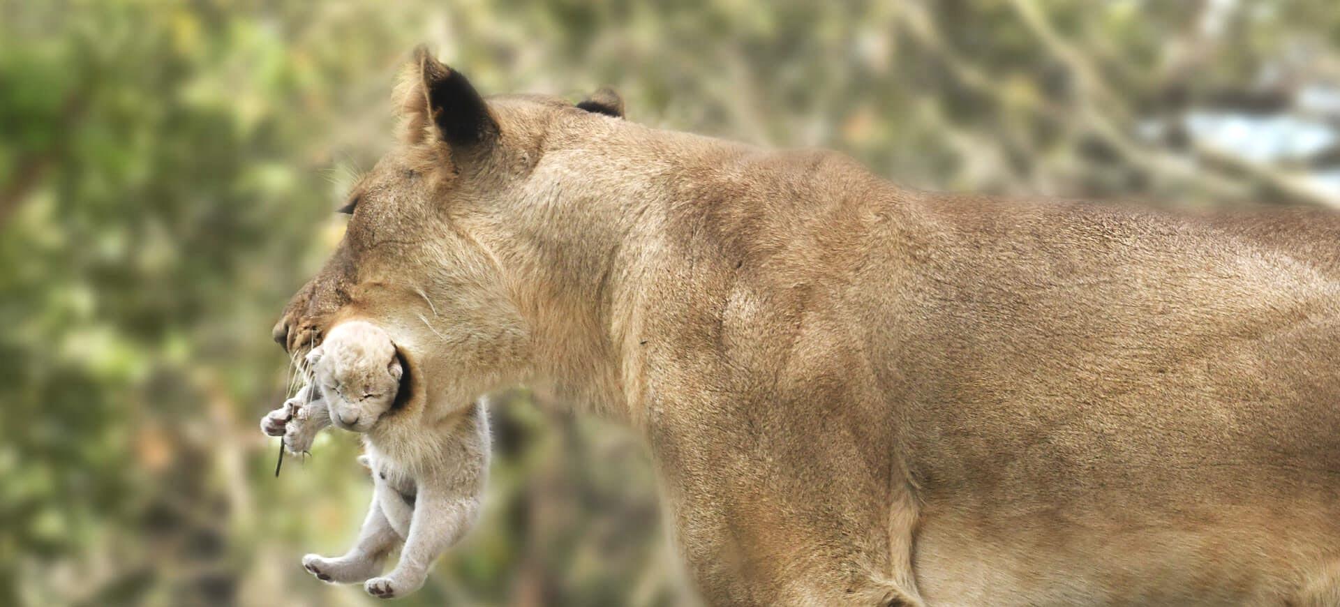 White Lion In Kruger