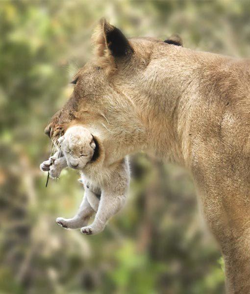 White Lion Kruger